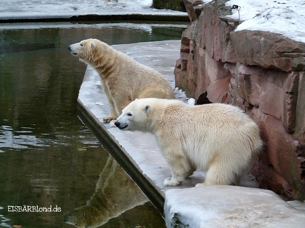 Kurz und knackig - Eisbär FLOCKE + Eisbär RASPUTIN - Tiergarten Nürnberg - 18.01.2009