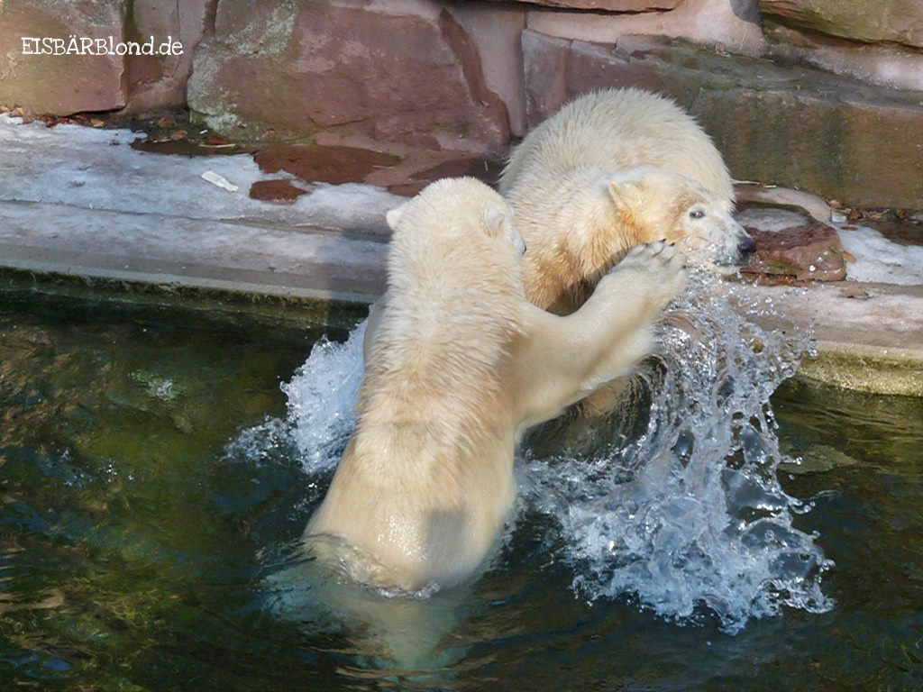 Feiner Russe trifft auf fränkische Zicke - Eisbär FLOCKE + Eisbär RASPUTIN - Tiergarten Nürnberg - 31.01.2009
