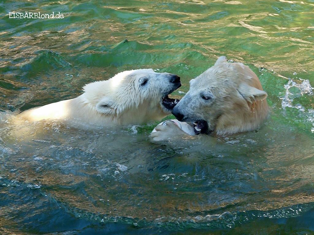 Wild und unersättlich - Eisbär FLOCKE + Eisbär RASPUTIN - Tiergarten Nürnberg - 14.02.2009