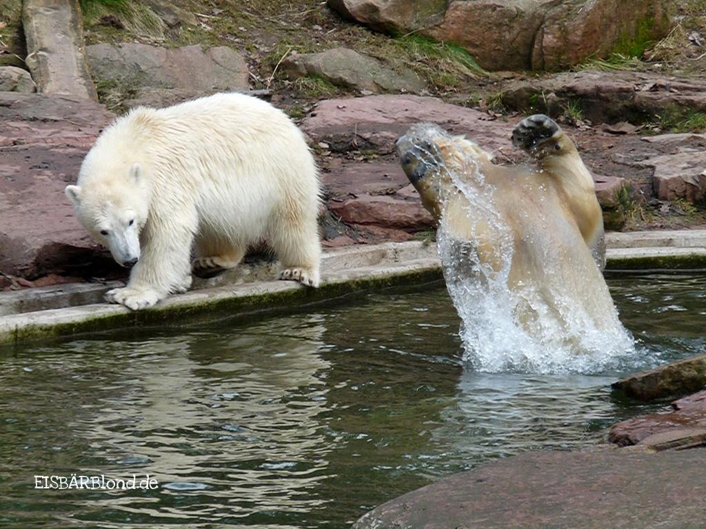 Eisbärenblond - Eisbär FLOCKE + Eisbär RASPUTIN - Tiergarten Nürnberg - 04.03.2009