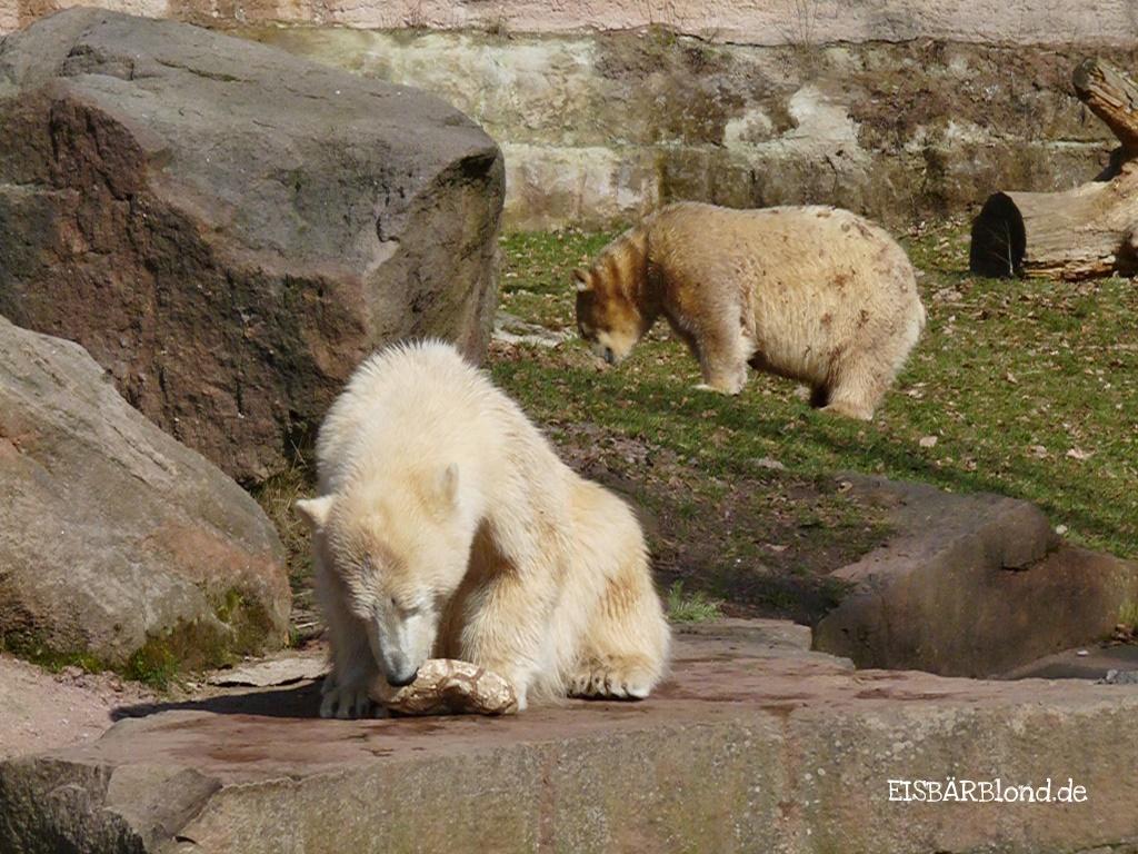 Bärenstarker Gesellschaft - Eisbär FLOCKE + Eisbär RASPUTIN - Tiergarten Nürnberg - 22.03.2009