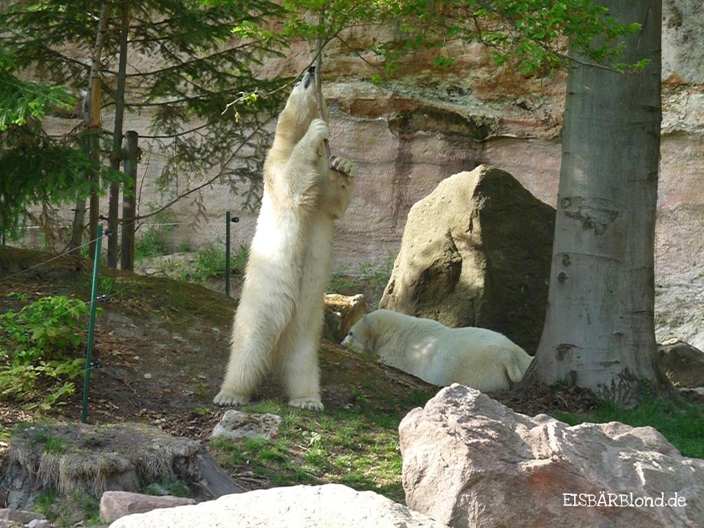 Ganz toll mich - Eisbär FLOCKE + Eisbär RASPUTIN - Tiergarten Nürnberg - 25.04.2009