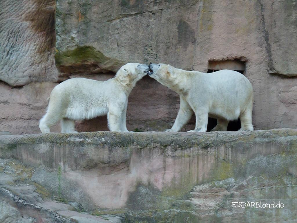 Zwei Eisbärenkinder - Eisbär FLOCKE - Tiergarten Nürnberg - 01.08.2009