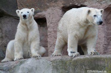 Langweilig, zickig und gutmütig - Eisbär FLOCKE + Eisbär RASPUTIN - Tiergarten Nürnberg - 28.10.2009