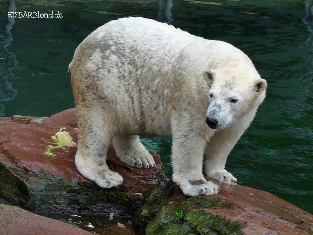 Eisbärenluft - Eisbär RASPUTIN - Tiergarten Nürnberg - 25.10.2009