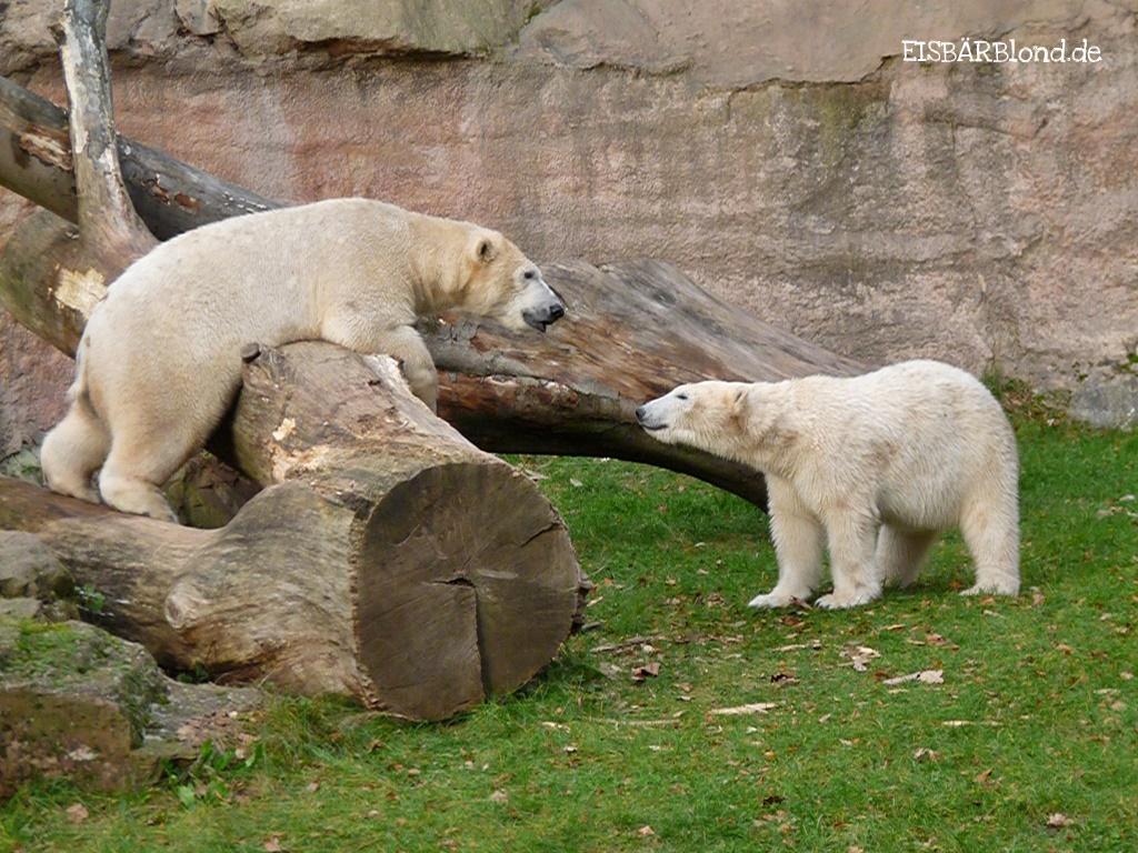 Blitzbesuch - Eisbär FLOCKE + Eisbär RASPUTIN - Tiergarten Nürnberg - 23.11.2009