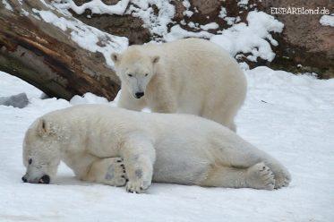 WIR bleiben noch ein bisschen hier - Eisbären Flocke und Rasputin - Tiergarten Nürnberg - 01/2010