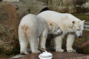 Wir bleiben noch ein bisschen hier - Eisbär FLOCKE + Eisbär RASPUTIN - Tiergarten Nürnberg - 26.02.2010