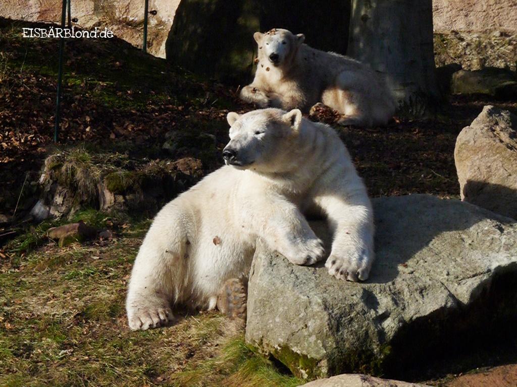 Eisbärchen - Eisbär FLOCKE + Eisbär RASPUTIN - Tiergarten Nürnberg - 27.02.2010