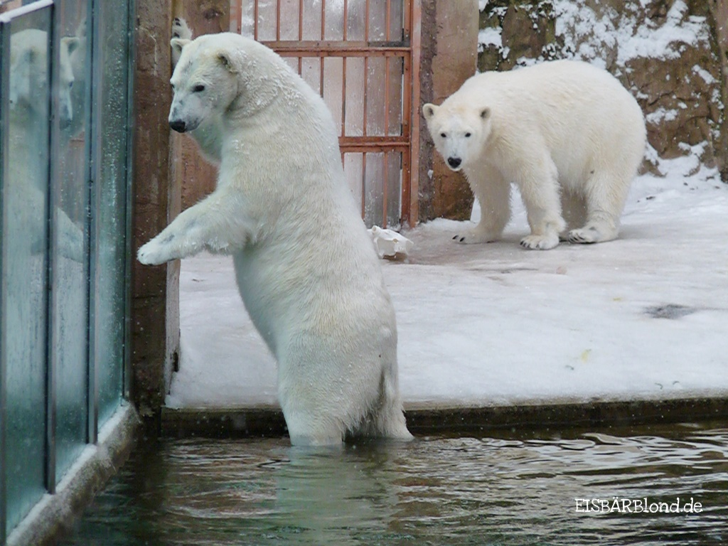 Nachbarin - Eisbär FLOCKE + Eisbär RSPUTIN - Tiergarten Nürnberg - 10.02.2010
