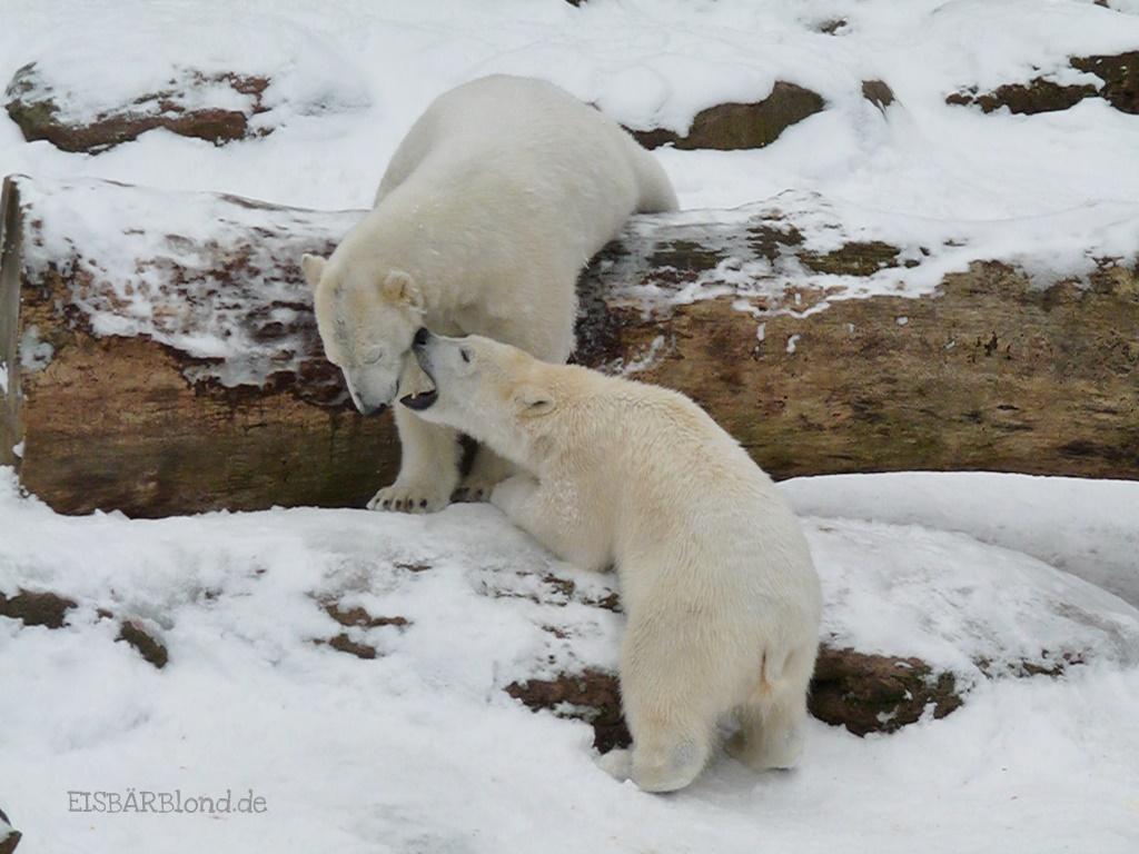 Schneenasen - Eisbär FLOCKE + Eisbär RSPUTIN - Tiergarten Nürnberg - 15.02.2010
