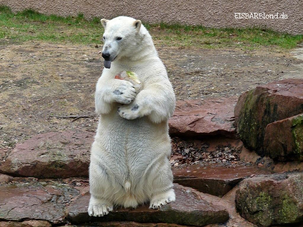 Eisbären-Knabe - Mein Eisbombe - Eisbär RASPUtIN - Tiergarten Nürnberg - 28.03.2019