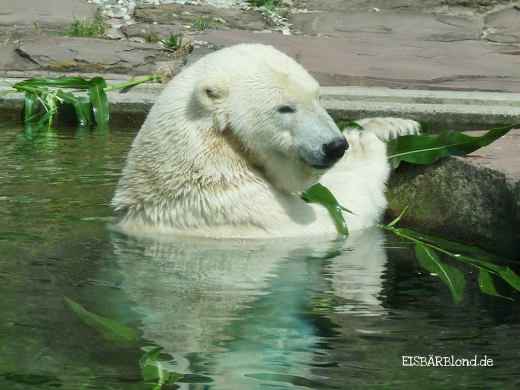 Der August zieht ein - Eisbär VERA - Tiergarten Nürnberg - 02.08.2010