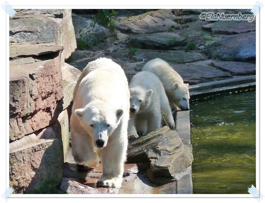 Umzugsfamilie - Eisbären Vera, Gregor und Aleut - Tiergarten Nürnberg