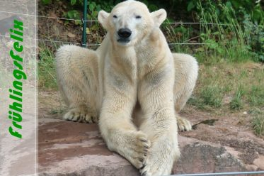 FrühlingsFelix - Eisbär FELIX im Tiergarten Nürnberg