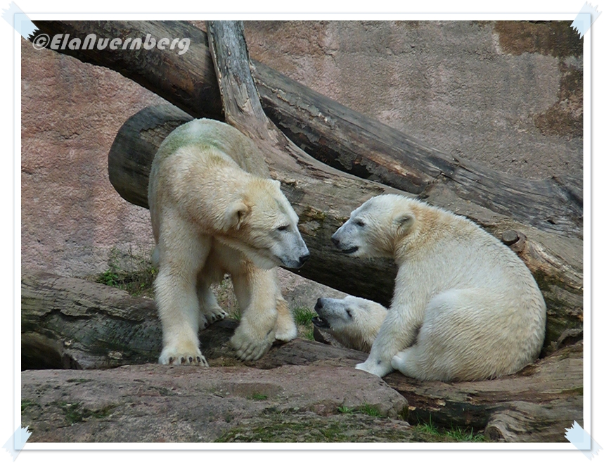 Karambo Karacho DREI Eisbären - Tiergarten Nürnberg - 09 2011