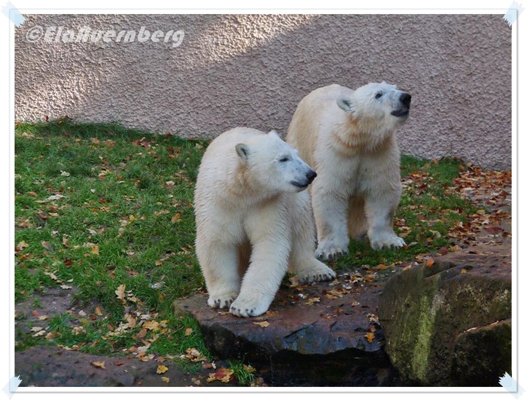 EisbärenKlimbims - Eisbär Gregor und Aleut im Tiergarten Nürnberg