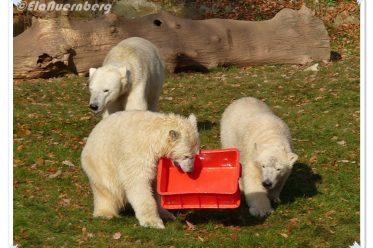 Eisbären Gregor und Aleut und die rote Kiste - Tiergarten Nürnberg - 17.11.2011