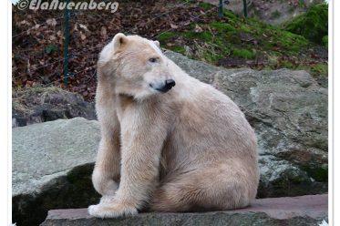 Die VeLixFamilie - Hier Eisbärin Vera im Tiergarten Nürnberg