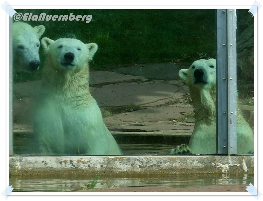 In eigener Sache - Eisbären Vera, Gregor und Aleut aus dem Tiergarten Nürnberg - 17.09.2012