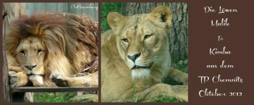 Malik # Kimba - Angola Löwen - Tierpark Chemnitz - 2012