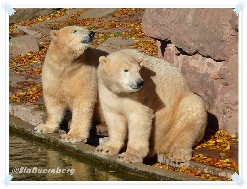 Goldeisbären - Gregor und Aleut - Tiergarten Nürnberg - 31.10..2012