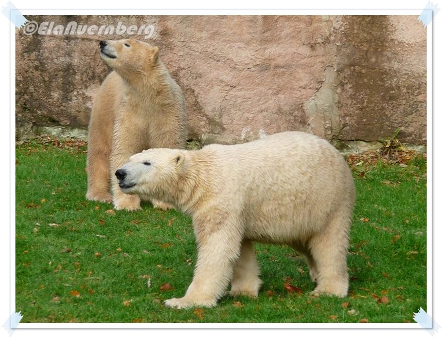 Novemberzeit - Eisbären Gregor und Aleut aus dem Tiergarten Nürnberg
