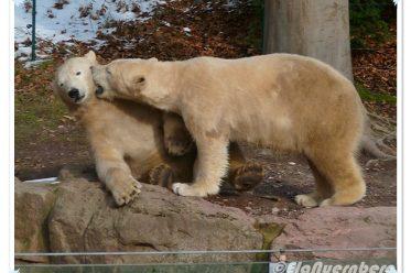 Die FaschingsPrinzen vom Aquapark - Eisbären Gregor und Aleut - Tiergarten Nürnberg - 02/2013