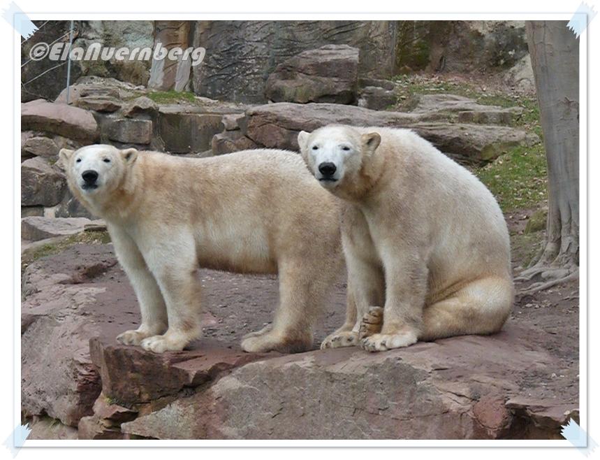 SchaWIENERn- Die EisbärenGregor und Aleut im Tiergarten Nürnberg - 03/2013