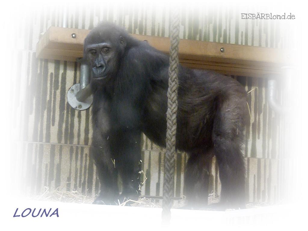 Gorilla LOUNA - Tiergarten Nürnberg - 02-2013