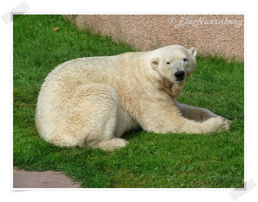 Eisbär Felix auf der grünen Wiese im Tiergarten Nürnberg