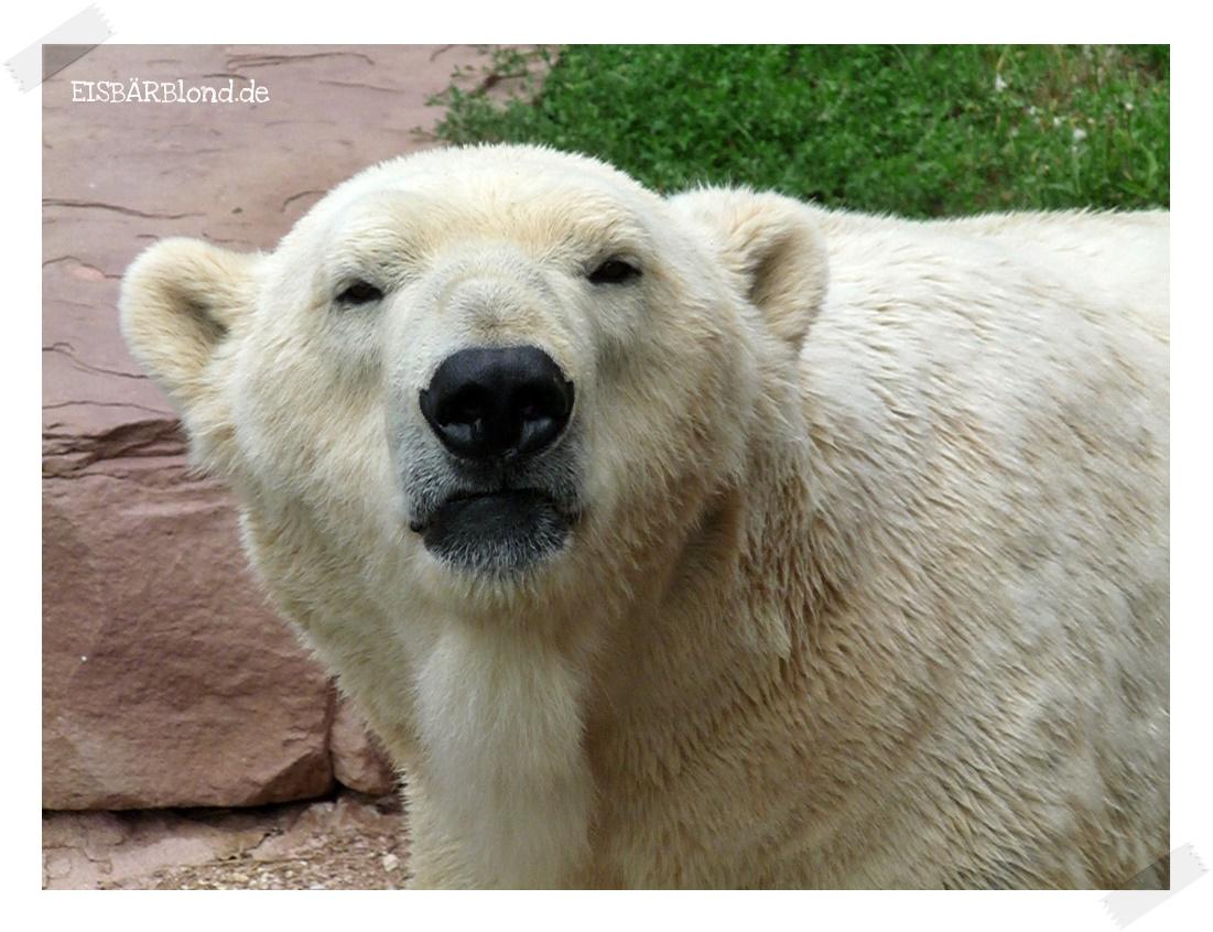 Einmal-im-Jahr-Besucher und Eisbär FELIX - Tiergarten Nürnberg - 18.08.2013