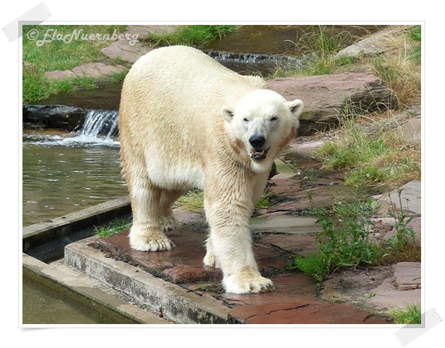 Die Ladys lieben mich - Eisbär Felix - 2013 07 31 - Tiergarten Nürnberg