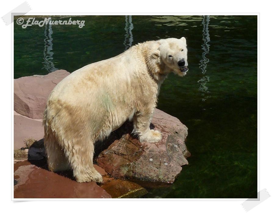 Wo bleiben meine Vitamine? - Eisbärin Vera 2013 08 12 - Tiergarten Nürnberg