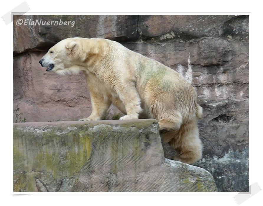 Leute, ich trage mich schwer - Eisbärin Vera 29.08.2013 - Tiergarten Nürnberg