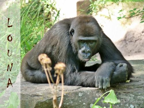 Gorilla Louna 2013 08 12