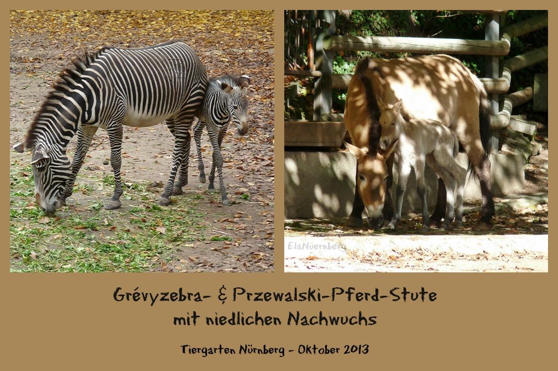 Grévyzebra + Przewalski-Pferd mit Nachwuchs - Tiergarten Nürnberg - Oktober 2013