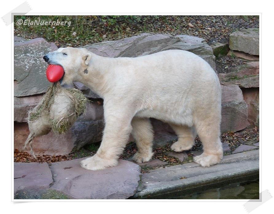 Das Geburtstags-Säckchen ist meins. - Eisbär Felix im Tiergarten Nürnberg