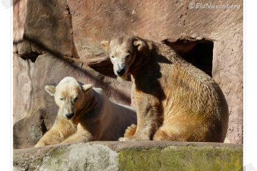 Wir versüßen euch den Valentin - Eisbär VERA und Eisbär FELIX im Tiergarten Nürnberg - 14.02.2014