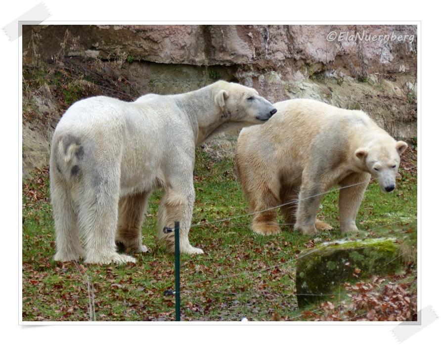 Manchmal zu Zweit - Eisbären Vera + Felix - 2014 02 10 - Tiergarten Nürnberg