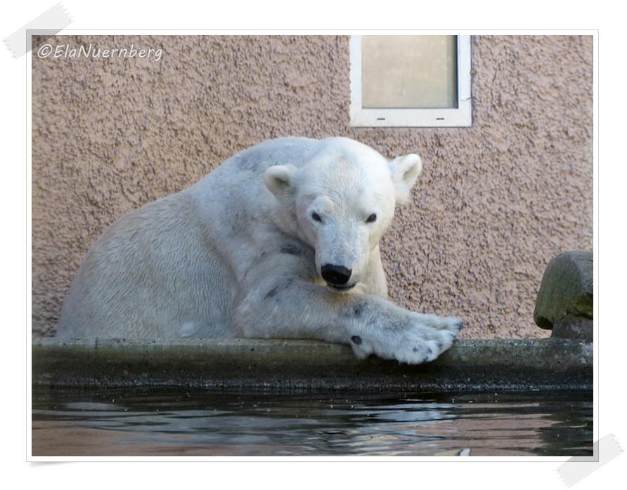 Frühlingsgefühle - Eisbärin Vera - 2014 03 20 - Tiergarten Nürnberg