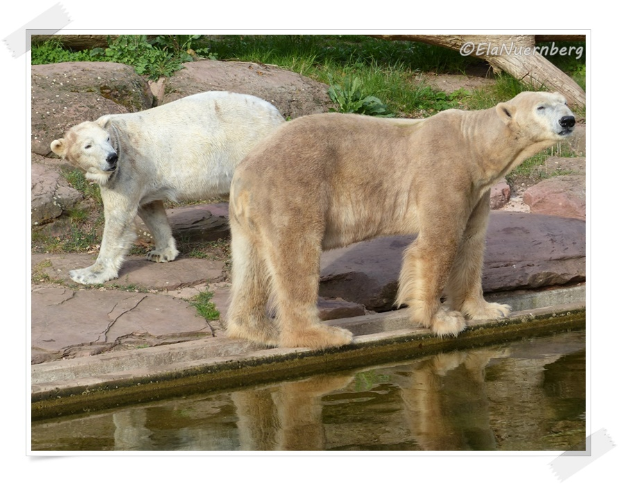 Miteinander - Eisbären Vera + Felix -2014 04 07