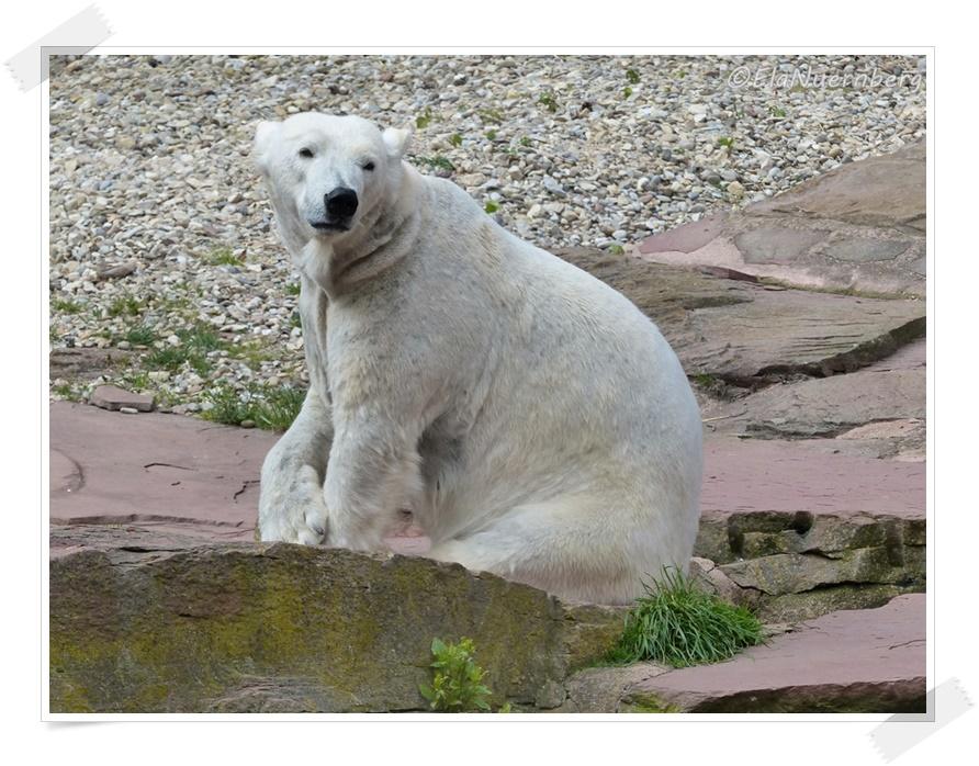 Ich bin wie ich bin - Eisbärin Vera - 2014 04 16