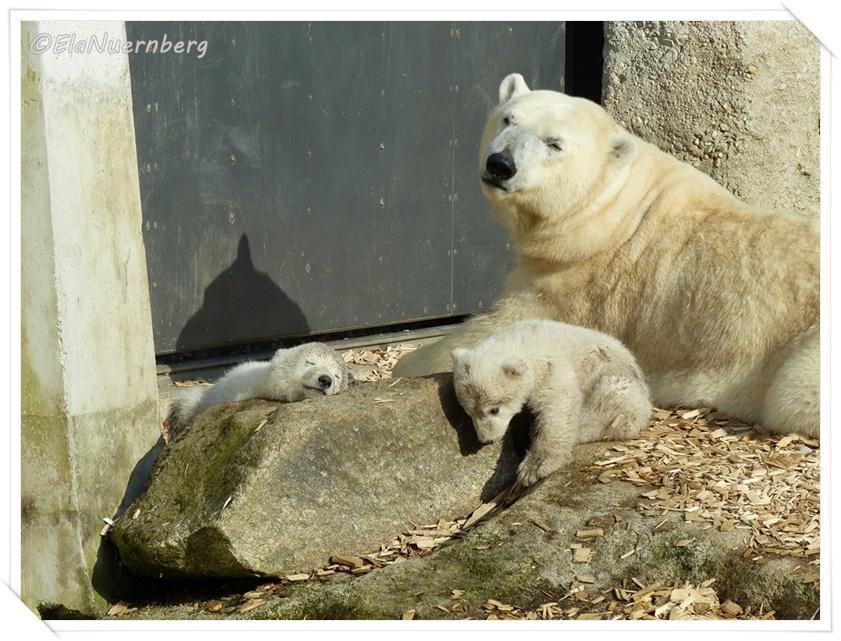 Giovanna und ihre niedlichen Eisbärenminis - TP Hellabrunn - 28.03.2014- 2