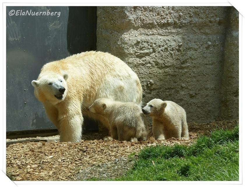 Die Eisbären Giovanna, Nela & Nobby - 19.05.2014