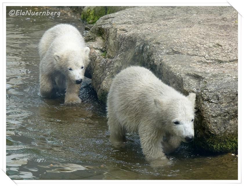 Die Eisbären Nela & Nobby - 19.05.2014