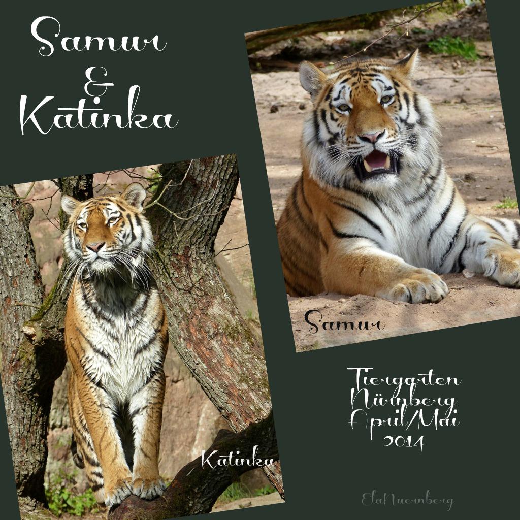 Die Tiger Samur & Katinka - 2014