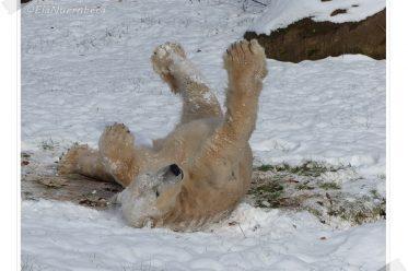 Mein Schneeparadies - Eisbär Felix - 2014 12 28 - Tiergarten Nürnberg
