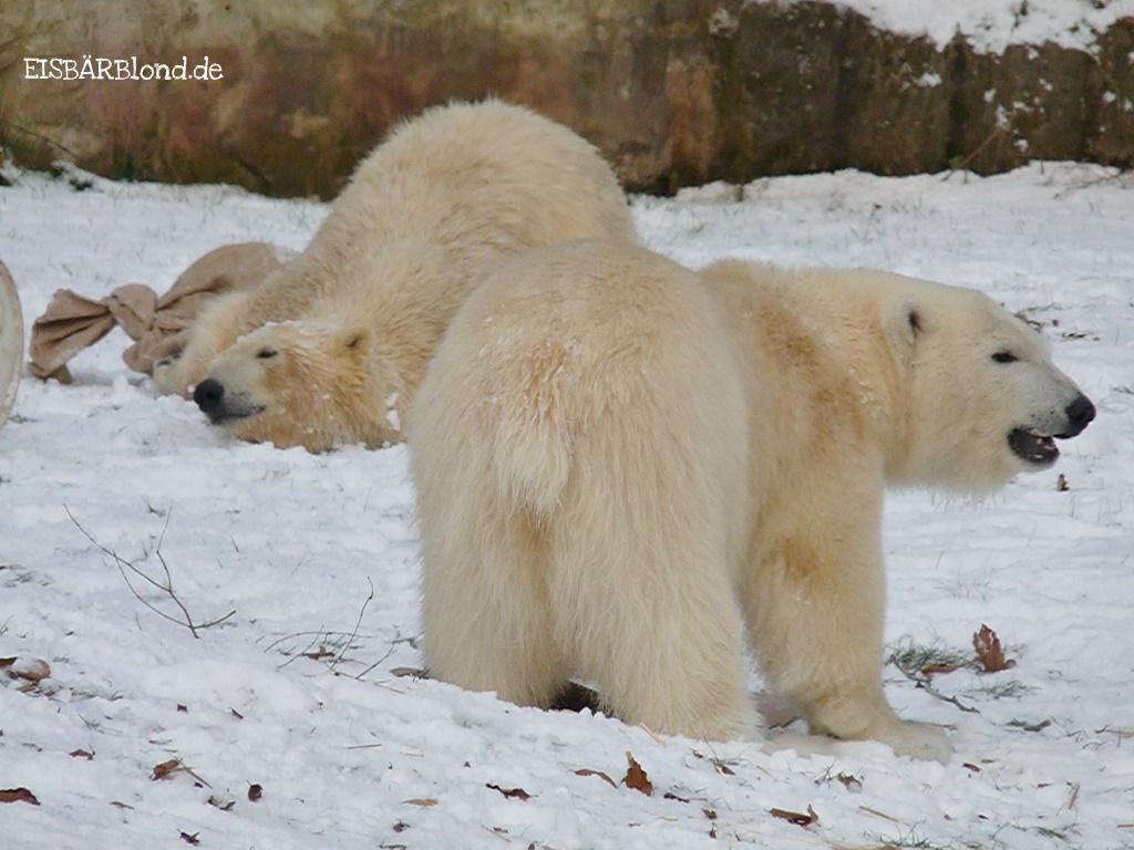 Eisbär Flocke und Eisbär Rasputin - Erstes Treffen