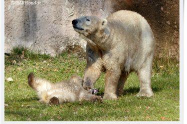 Eisbär Lottchens erster Ausflug auf der großen Anlage im Tiergarten Nürnberg